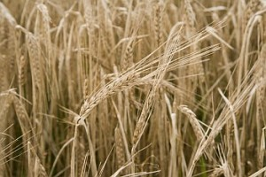 islay barley